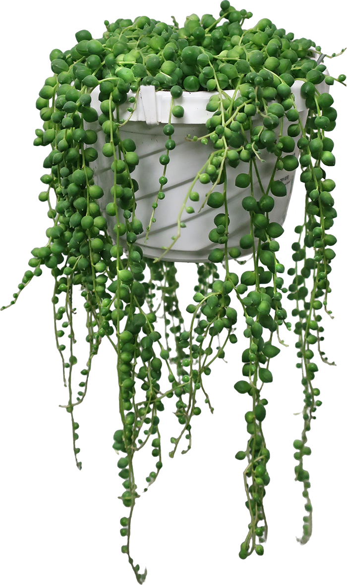 Photo: String of Pearls