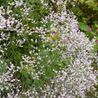 Photo: Limonium latifolium