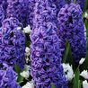 Photo: Hyacinthus Blue Jacket
