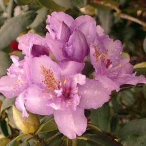 Photo: Rhododendron 'Fastuosum Plenum'