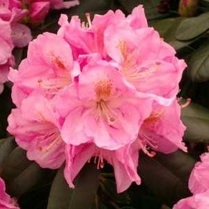 Photo: Rhododendron Hybrides