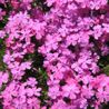 Photo: Creeping phlox