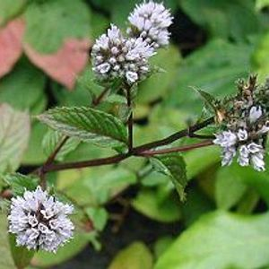 Photo: Peppermint