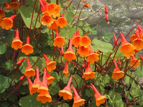 Photo: Tropaeolum tuberosum