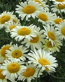 Photo: Anthemis tinctoria 'Lemon Ice'