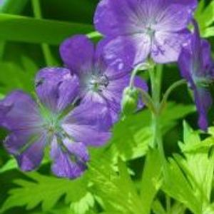 Photo: Geranium 'Blue Sunrise'