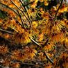 Photo: Witch hazel 'Glowing Embers'
