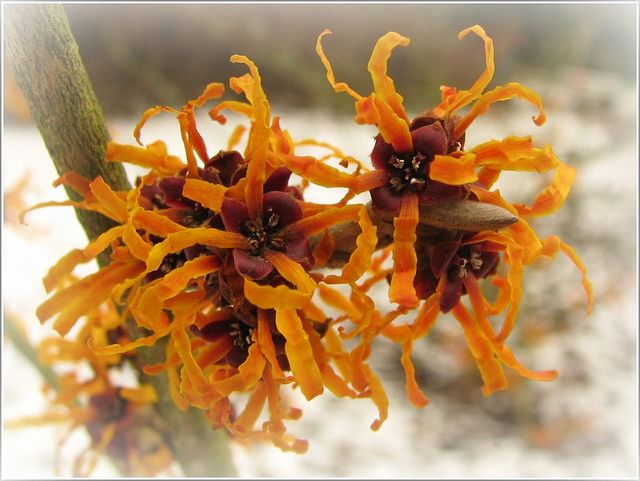 Photo: Witch hazel 'Orange Peel'