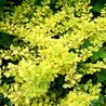 Photo: Barberry 'Aurea'