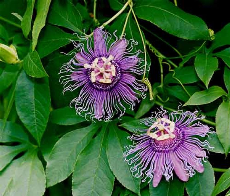 Photo: Passion flower 'New Incense'