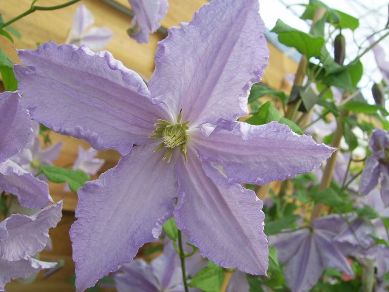 Photo: Clematis 'Blue Angel'