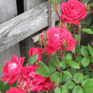 Photo: Rose 'Knock Out' Double Red