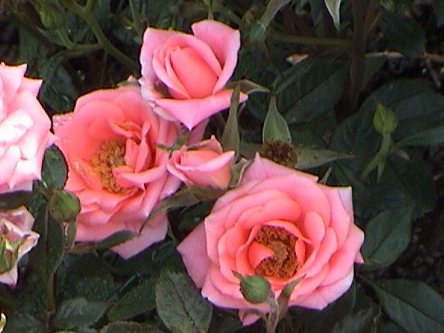 Photo: Rose Miniature 'Beautiful Doll'