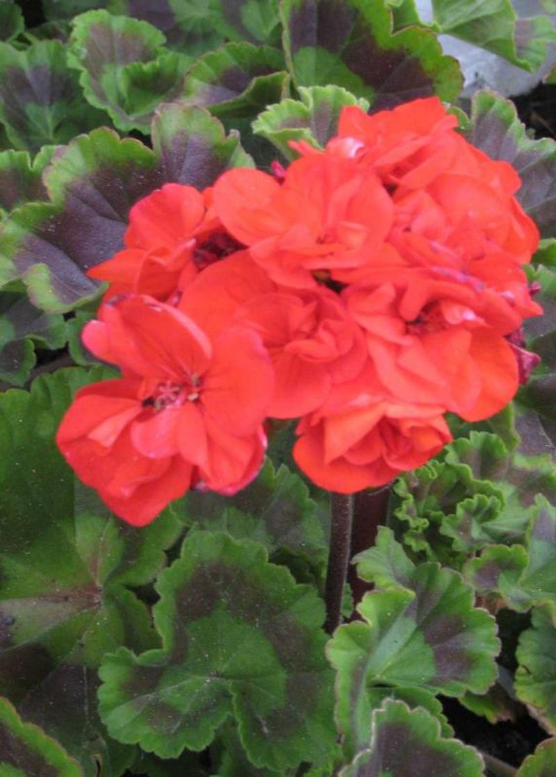 Photo: Pelargonium hybride