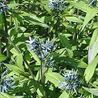 Photo: Amsonia orientalis