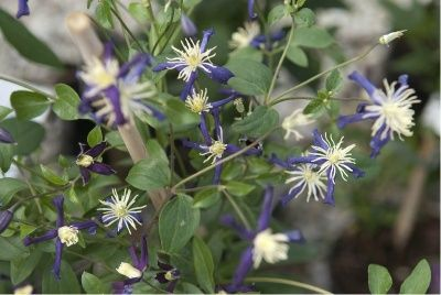 Photo: Clematis x aromatica