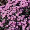 Photo: Aster dumosus  'Wood's Purple'