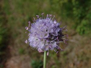 Photo: Devil's-bit Scabious