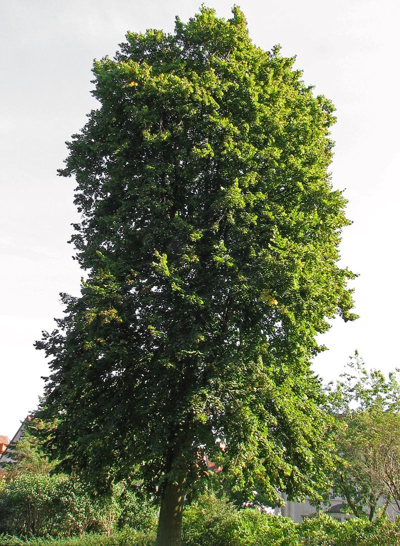 Photo: Large-leaved Lime
