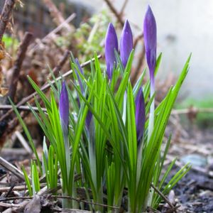 Photo: Crocus sp.