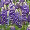 Photo: Lupinus 'The Governor'