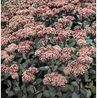 Photo: Sedum telephium 'matrona'