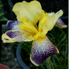 Photo: Bearded Iris