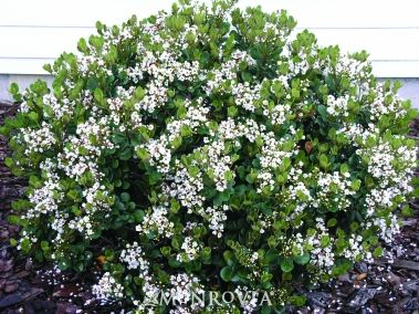 Photo: Indian Hawthorn 'Snow White'