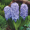 Photo: Blue Star Hyacinth