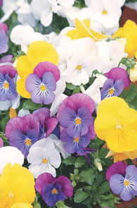 Photo: Pansy (General)