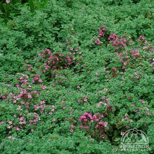 Photo: Creeping Thyme 'Elfin'