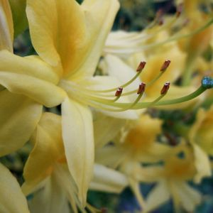 Photo: Rhododendron giam