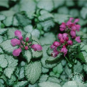 Photo: Spotted Dead Nettle