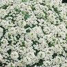 Photo: Alyssum 'Garden of Snow'
