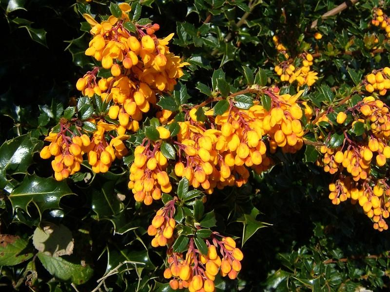 Photo: Berberis