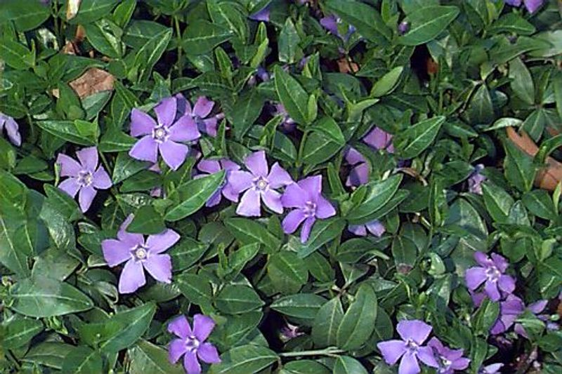 Photo: Periwinkle, common 'Bowles variety'