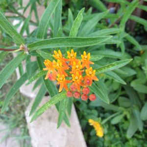 Photo: Butterfly Weed