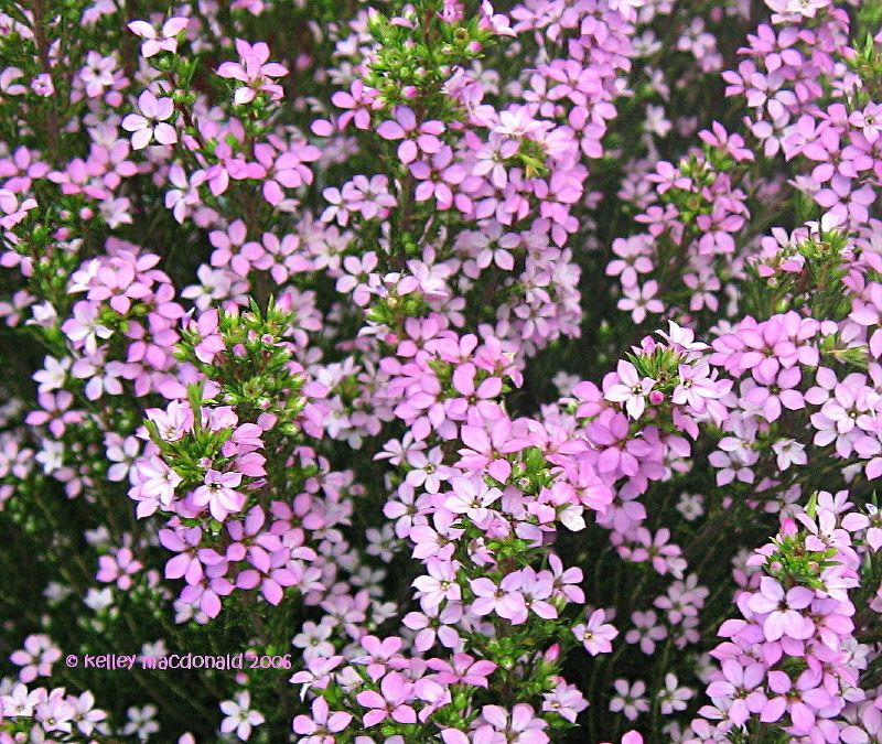 Photo: Pink Breath of Heaven