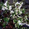 Photo: Japanese Quince, Japonica, 'Snow'