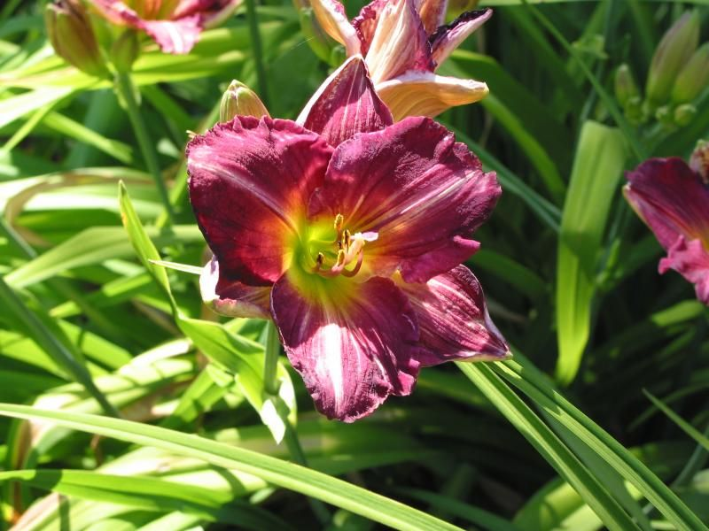 Photo: Daylily 'Purple Wine'