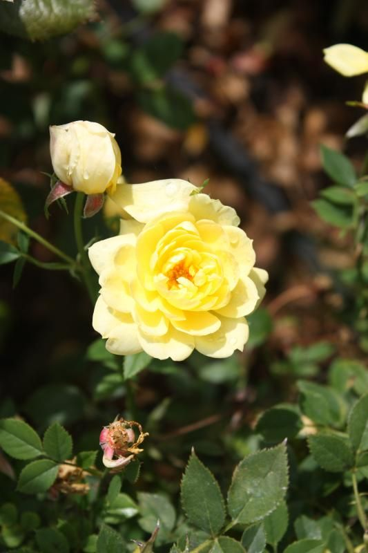Photo: Rose Miniature 'Gold Coin'
