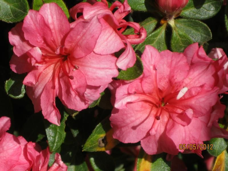 Photo: Azalea 'Autumn Rouge'
