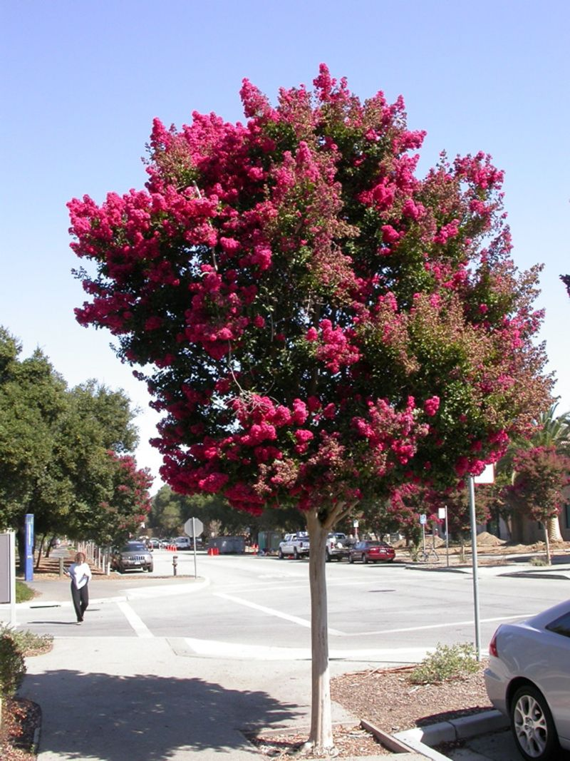 Photo: Lagerstroemia indica