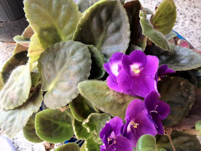 Photo: African Violet