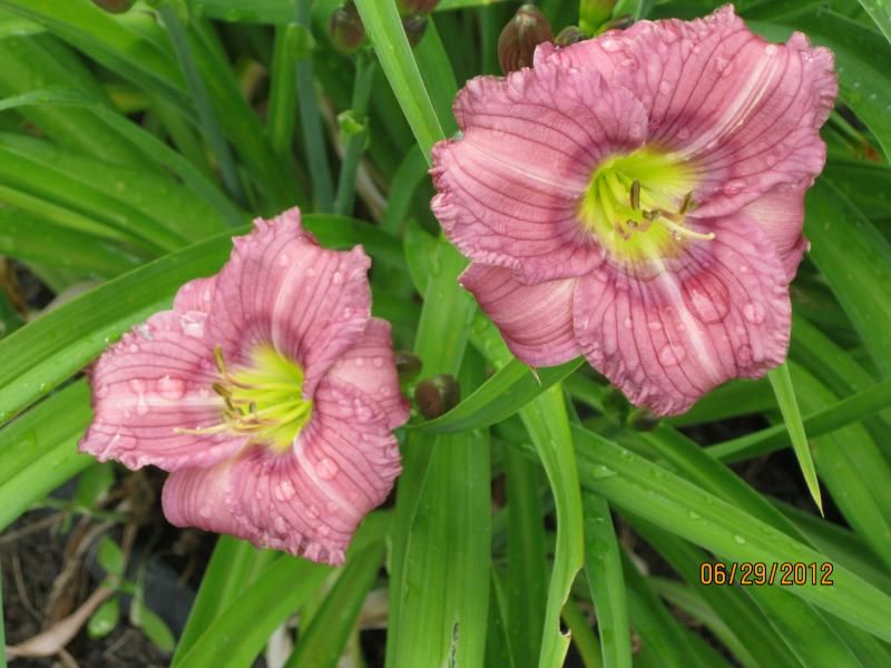 Photo: Daylily 'Coming Out Party'