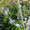 Photo: Agapanthus 'Pinocchio'