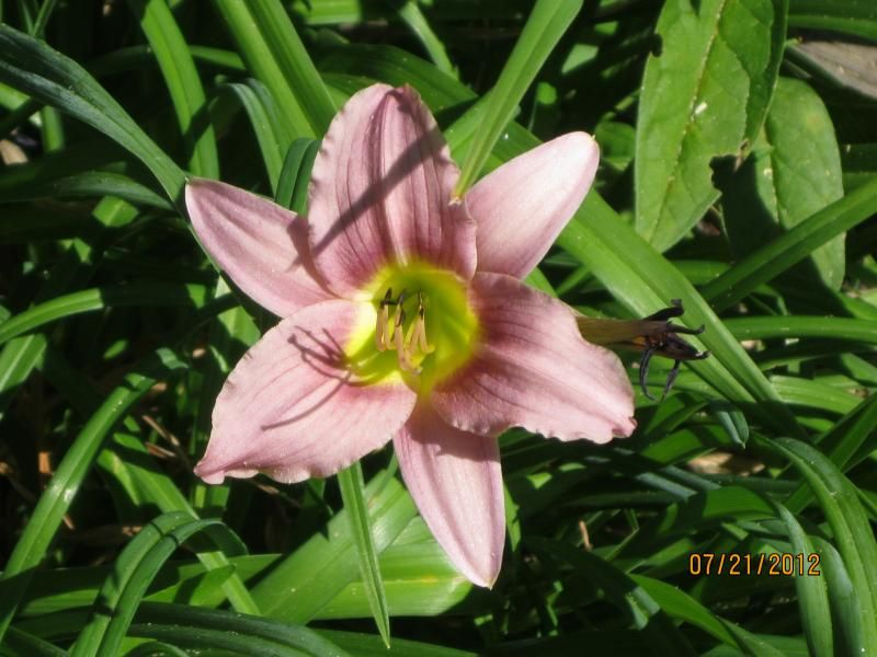 Photo: Daylily 'Purple de Oro'