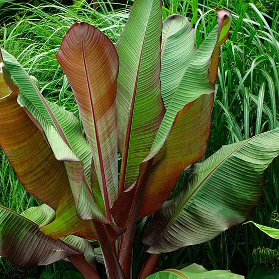 Photo: Red Abyssinian Banana