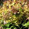 Photo: Abelia 'Goldsport'