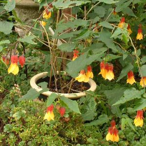 Photo: Abutilon 'Kentish Belle'